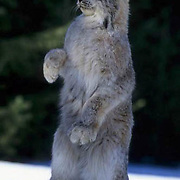 Canada Lynx, (Lynx canadensis) Adult sitting up in agressive posture. Winter. Rocky mountains. Montana.  Captive Animal.