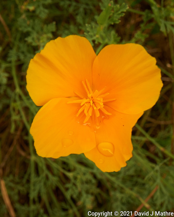 California Poppy. Image taken with a Leica SL2s camera and Loawa 24 mm f/14 macro lens.