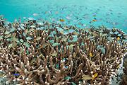 Staghorn Coral (Acropora formosa) &<br /> reef fish<br /> Raja Ampat<br /> Indonesia