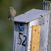 Mountain Bluebird (Sialia currucoides) Female and male at nest box. Bridger Mountains. Montana