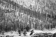 Burned trees, Stove Prairie Road, CO