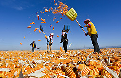 October 9, 2018 - Zhangye, Zhangye, China - Zhangye,CHINA-Farmers are busy with drying and airing corns in Zhangye, northwest China's Gansu Province, October 8th, 2018. (Credit Image: © SIPA Asia via ZUMA Wire)