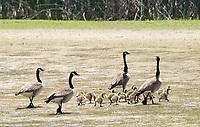 Canada Geese and goslings, Branta canadensis, at Sacramento National Wildlife Refuge, California