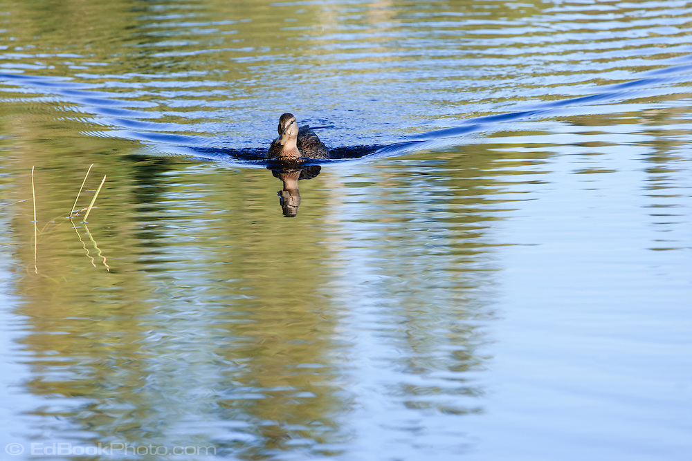 female Mallard duck (An<br /> as platyrhynchos) a surface-feeding duck swimming with a V-shaped wake in Takhlakh Lake in the Gifford Pinchot National Forest, Washington state, USA