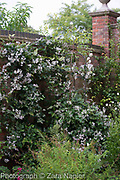 Clematis jouiniana Mrs Robert Brydon on a brick wall underplanted with ferns  - September