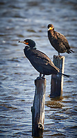 Double-crested Cormorant. Biolab Road, Merritt Island National Wildlife Refuge. Image taken with a Nikon D4 camera and 500 mm f/4 VR lens (ISO 900, 500 mm, f/11, 1/500 sec).