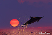 Hawaiian spinner dolphin, or nai'a, Stenella longirostris longirostris, aka Gray's or long-snouted spinner dolphin, jumping at sunset, Kona, Hawaii, USA ( Central Pacific Ocean ) dc