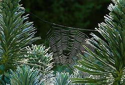 Cobwebs on Euphorbia characias subsp. wulfenii - Lambrook Gold seedling