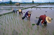 Replanting rice, in padi fields, Chiang Rai Province, Thailand