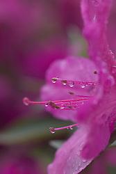 Stock photo of an azalea flower at Sam Houston Park