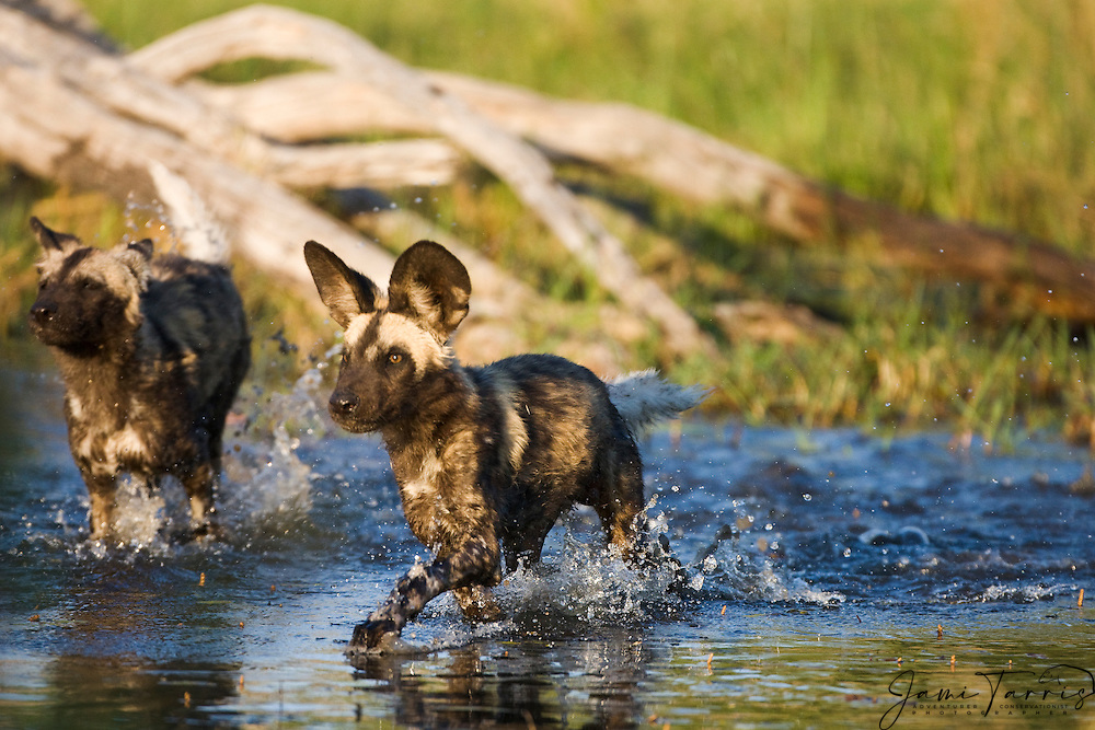 African Wild Dogs (Lycaon pictus) running through the water during a hunt, Moremi Game Reserve,Botswana, Africa