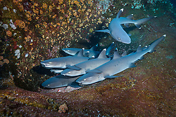 White-tip Reef Sharks, Triaenodon obesus, snuggle on a narrow ledge. Roca Partida, Revillagigedo Islands, Mexico, Pacific Ocean