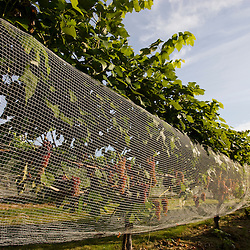 Nets protect the grapes at the vineyard at Jewell Towne Vineyards in South Hampton, New Hampshire.