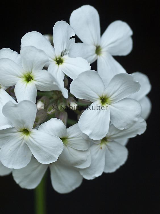 Hesperis matronalis 'Alba' - white sweet rocket