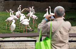 An unidentified senior photographs the flamingoes in their enclosure at the Oakland Zoo, during the 11th annual Healthy Living Festival, Thursday, July 17, 2014 in Oakland, Calif. Thousands of seniors from came to learn more about healthcare options, be entertained, and to tour the zoo. (D. Ross Cameron/Bay Area News Group)