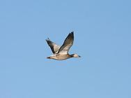 Snow Goose - Anser caerulescens - immature in flight