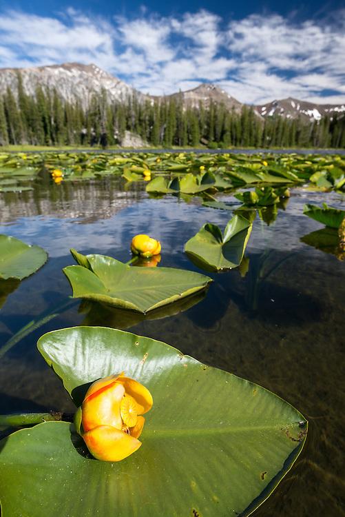 Pond lilies on a lake in Oregon's Wallowa Mountains.