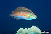 adult endemic Hawaiian ornate wrasse, ornamented wrasse, or la'o, Halichoeres ornatissimus ( endemic to Hawaiian Islands and Johnston Atoll), Driftwood dive site, Red Hill, South Kona, Hawaii ( Central Pacific Ocean )