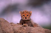 Cheetah (Acinonyx jubatus) cub portrait. Botswana. cute, babies, southern-africa.