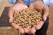 Joseph Jingo Nkumbi an agronomist for Kulika, holding coffee seeds ready to be planted in the palms of his hands. The Kulika project run Sustainable Organic Agricultural Training Programs.