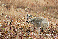 01864-03406 Coyote (Canis latrans) Yellowstone National Park, WY