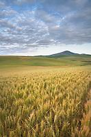 Golden fields of wheat Palouse Washington