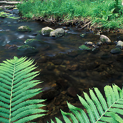 Errol, NH. Ostrich Fern, Matteuccia Struthiopteris, next to a small tributary of the Androscoggin River.  13 Mile Woods.  Northern Forest, Great North Woods.
