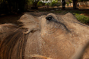A Common Warthog (Phacochoerus africanus) at the Chipangali Wildlife Orphange, Zimbabwe. © Michael Durham / www.DurmPhoto.com