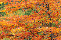 Red maple tree during autumn in Acadia National Park, Maine