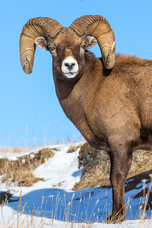 Bighorn sheep ram with full curl horns in Jasper National Park, Alberta, Canada