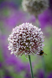 Bumblebee on the flower of Leek 'St. Victor'. Allium porrum