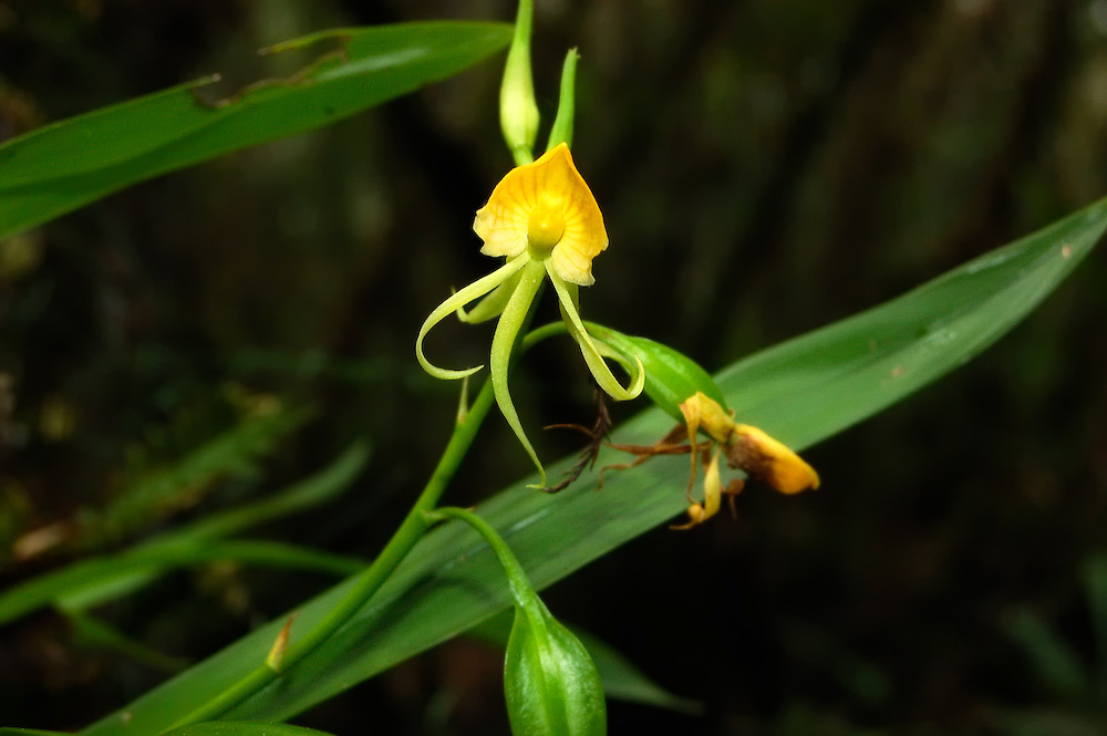 This super-rare color form of the clamshell orchid blew me away as I waded around a pond apple tree and saw it in a remote pond in Collier County, Florida. It's exact location is a secret!