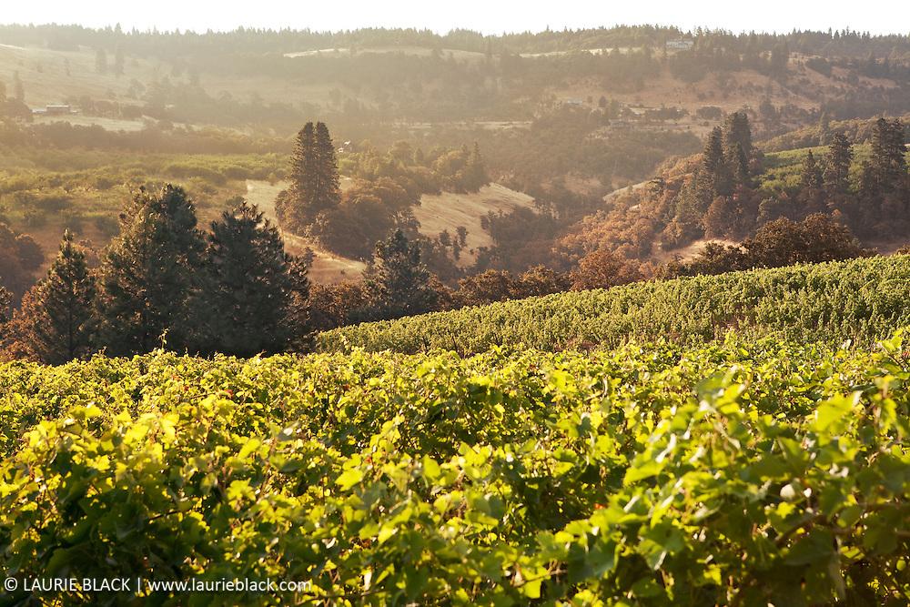 Vineyard landscape in Columbia Gorge art photograph