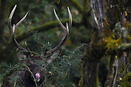 Red deer stag, Cervus elaphus, Humid montane mixed forest, Laba He National Nature Reserve, Sichuan, China