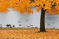 Canadian geese congregate ion a rainy autumn day at Alcyon Lake in Pitman, NJ.