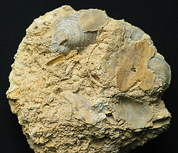 Fossils in limestone