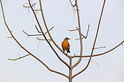 An American robin (Turdus migratorius) poses among the bare branches of a tree in Marymoor Park, Redmond, Washington.