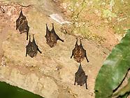 Lesser White-lined Bat, Saccopteryx leptura