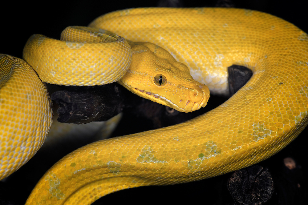 High Yellow
