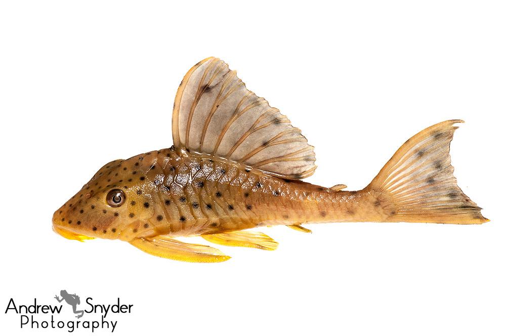 Plecostomus, Hypostomus macushi, Iwokrama, Guyana, July, 2013