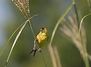 American Goldfinch, Carduelis tristis, Resting And Watching