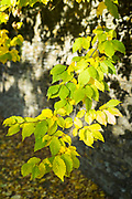 Dappled sunlight on leaves of beech tree - Fagus - by dry stone wall in autumn in Swinbrook, the Cotswolds, England, UK