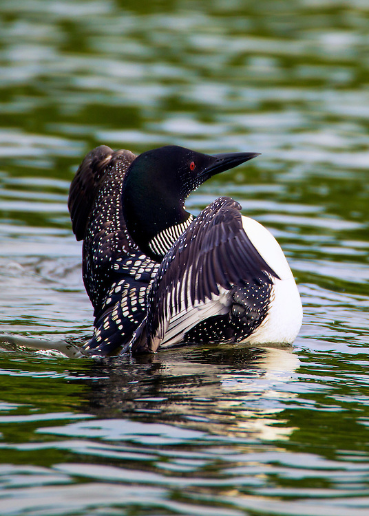 Minnesota's state bird, the common loon, is more at home in the water than on land. built like a torpedo, it swims under water in search of prey. Minnesota has more common loons than any other state except Alaska.