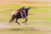 Motion blur of a  Blue wildebeest, brindled gnu ( Connochaetes taurinus) running on the plains of the Masai Mara, Masai Mara, Kenya,Africa