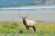 Elk  or wapiti (Cervus canadensis)  <br />Jasper National Park<br />Alberta<br />Canada