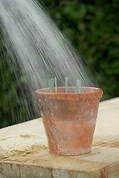 Taking dianthus cuttings - watering