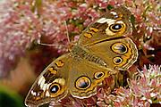 Buckeye Butterfly, Cape May, South Jersey, NJ