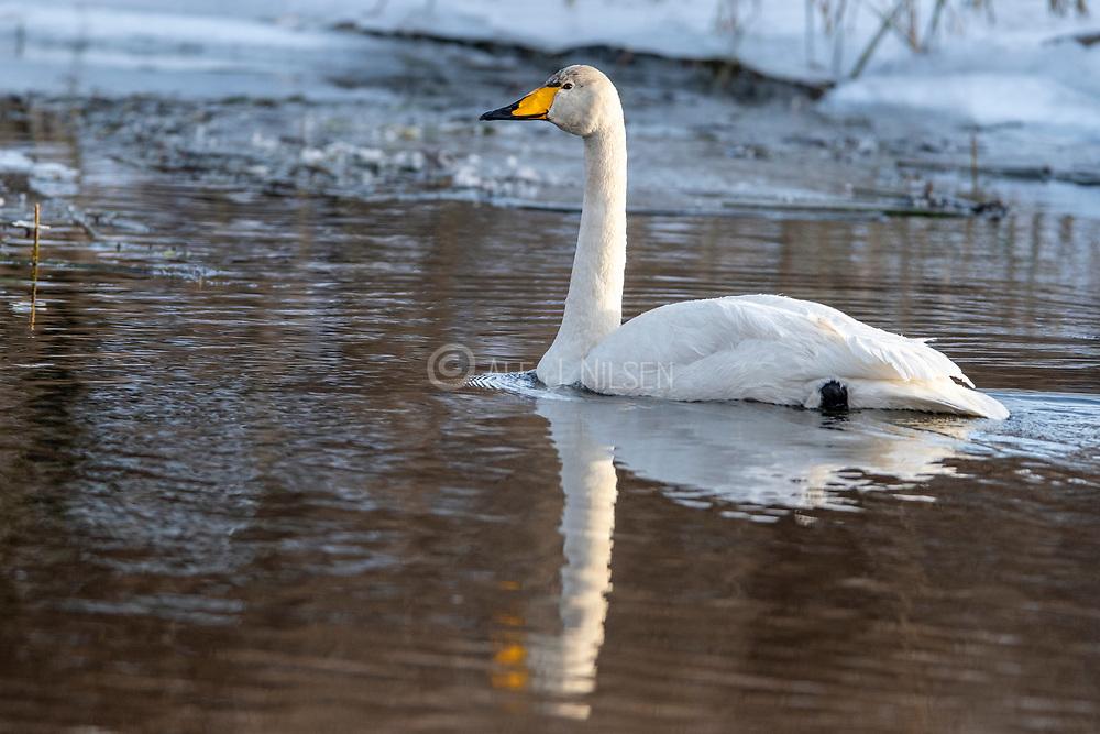 Whooper Swan (Cygnus cygnus) from south-western Norway in February.