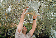 Spanje, omgeving Granada, 1999Pollen van olijfbomen worden opgevangen t.b.v. allergie onderzoek universiteit van GranadaFoto: Flip Franssen/Hollandse Hoogte