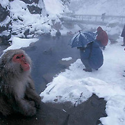 Snow Monkey or Japanese Red- faced Macaque, (Macaca fuscata) Photographing monkeys. Japan.